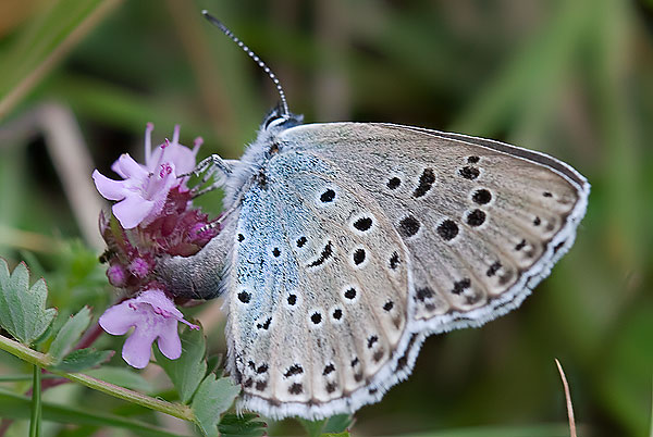 large blue laying