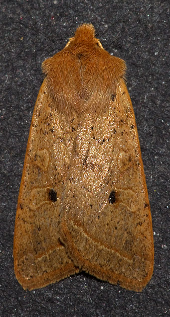 yellow-line quaker