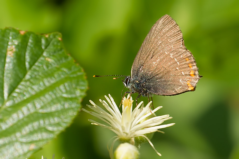 sloe hairstreak