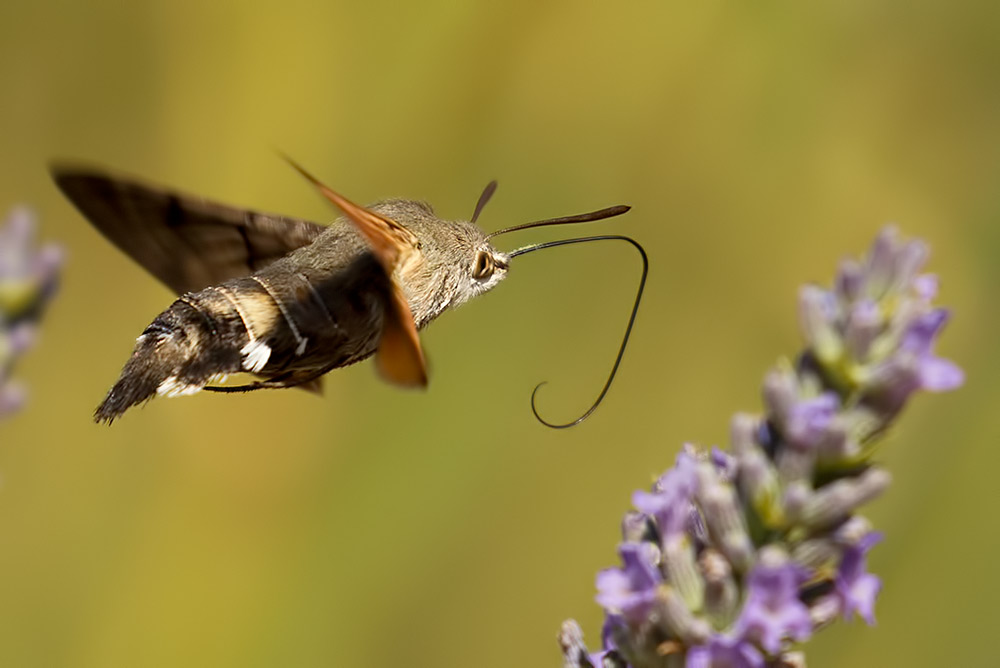 humminbird hawk moth